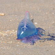 Portugese Man O' War 2 Poster
