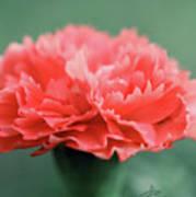 Posh Carnation Poster