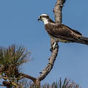 Posing Osprey Poster