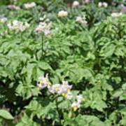 Potato Flower Agriculture Spring Scene Poster