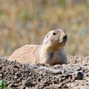 Prairie Dog  9255 Poster