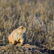 Prairie Dog Alert Poster