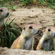 Prairie Dog Family Poster
