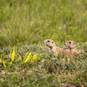 Prairie Dogs On Lookout Poster