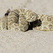 Prairie Rattlesnake  Poster