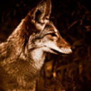 Prairie Wolf Portrait Poster