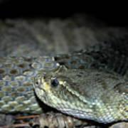 Prarie Rattle Snake Poster