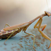 Praying Mantis Close Up Poster