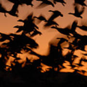Pre-dawn Flight Of Snow Geese Flock Poster