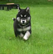 Precious Alusky Puppy Dog Running In A Yard Poster