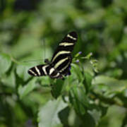 Precious Black And White Zebra Butterfly In The Spring Poster