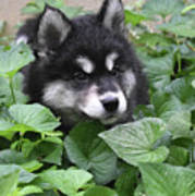 Precious Fluffy Alusky Puppy Dog In Green Foliage Poster