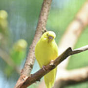Precious Yellow Budgie Parakeeet In The Wild Poster