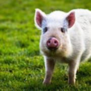 Precocious Piglet Poster