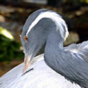 Preening Bird Poster