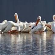 Preening Pelicans Poster