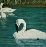 Preening Swans Poster