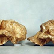 Prehistoric Skulls Poster