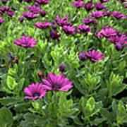 Prescott Park - Portsmouth New Hampshire Osteospermum Flowers Poster