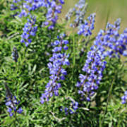Pretty Blue Flowers Of Silky Lupine Poster