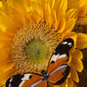 Pretty Butterfly On Sunflowers Poster