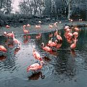 Pretty Flamingoes Poster
