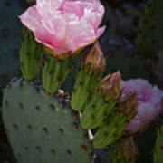 Pretty In Pink Prickly Pear  Poster