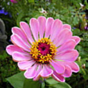 Pretty In Pink Zinnia Poster