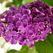 Pretty Lilac Bush Poster
