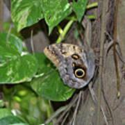 Pretty Morpho Butterfly Resting In A Butterfly Garden  Poster