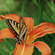 Pretty Orange Lily With A Butterfly On It's Petals Poster