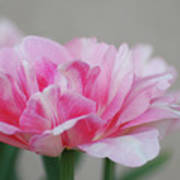 Pretty Pale Pink Parrot Tulip Flower Blossom Poster