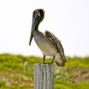 Pretty Pelican Poster