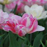Pretty Pink And White Striped Ruffled Parrot Tulips Poster