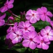 Pretty Pink Phlox  Poster by Lori Frisch