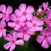 Pretty Pink Prairie Phlox Poster