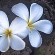 Pretty Plumeria Poster