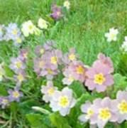 Pretty Primulas 1008 Poster