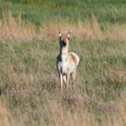 Pretty Pronghorn On The Plains Poster