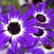 Pretty Purple Daisies Poster