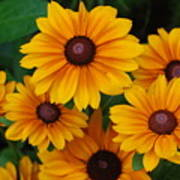 Pretty Rudbeckia Flowers In Bloom Poster