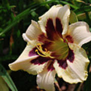 Pretty Single Blooming Daylily In A Garden Poster