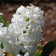 Pretty White Hyacinth Flower Blossom Flowering Poster