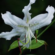 Pretty White Stargazer Lily Flower Blossom Poster
