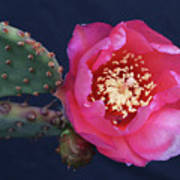 Prickly Pear Bloom Poster