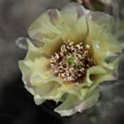 Prickly Pear Blossom 3 Poster by Roger Snyder