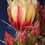 Prickly Pear Flower Wet Poster