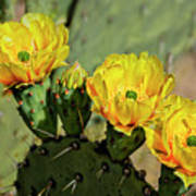 Prickly Pear Flowers H42 Poster
