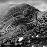 Profile Hawaiian Sea Turtle Bw Poster