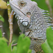 Profile Of A Gray Iguana In The Top Of A Bush Poster